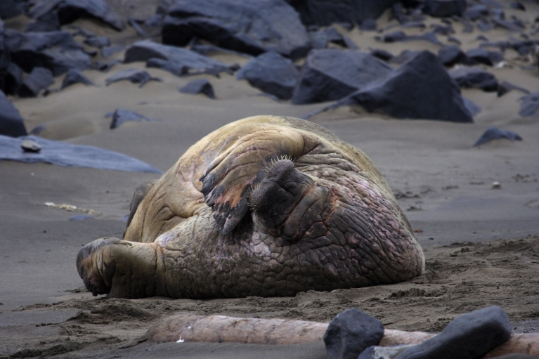 Walrus on Svalbard beach